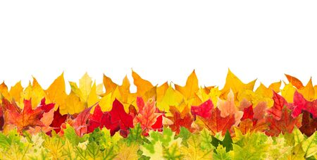 withering: Seamless pattern of colour autumn maple leaves, isolated on white background. Stock Photo
