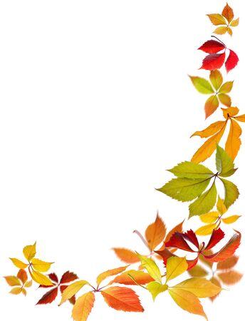 withering: Falling Virginia Creeper(Parthenocissus quincquefolia) autumn leaves on white background.