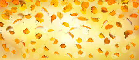 withering: Autumn falling yellow leaves, on natural background.