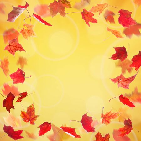 withering: Frame from red falling autumn maple leaves on natural background. Stock Photo