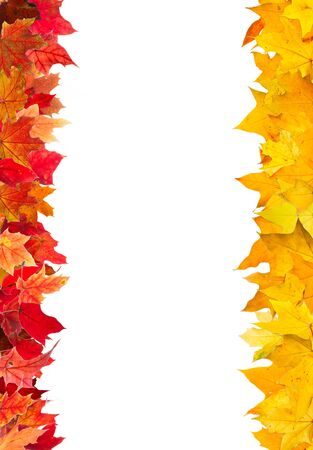 autumn leaf frame: Autumn red and yellow maple leaves frame, isolated on white.