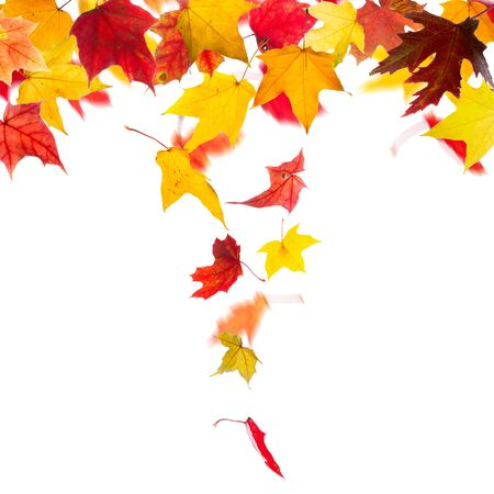 falling down: Autumn maple leaves falling down, on white background.