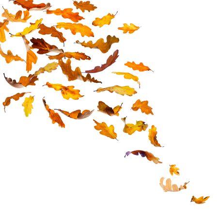 Falling autumn oak leaves, isolated on white background. Stock Photo