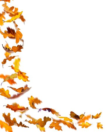 thanksgiving background: Falling autumn oak leaves, isolated on white background. Stock Photo