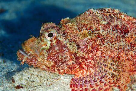 scorpionfish: Bearded scorpionfish (Scorpaenopsis barbata) close-up, in the Red Sea, Egypt.