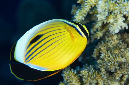 chaetodon: Blacktail Butterflyfish (Chaetodon austriacus) and  coral in the Red Sea, Egypt. Stock Photo