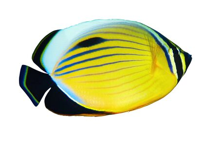 chaetodon: Blacktail Butterflyfish (Chaetodon austriacus) isolated on white background. Stock Photo