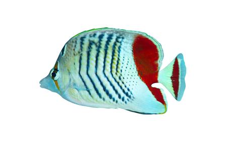 chaetodontidae: Eritrean butterflyfish (Chaetodon paucifasciatus) isolated on white background.