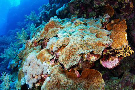 stony corals: Colony of hard stony corals in the Red Sea, Egypt. Stock Photo