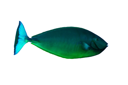 Sleek unicornfish (Naso hexacanthus) isolated on white background.