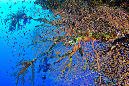 gorgonian sea fan: Hicksons fan coral (Subergorgia hicksoni Kashman) in the Red Sea, Egypt. Stock Photo