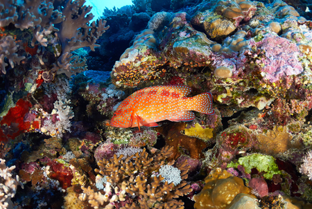 hind: Coral hind (Cephalopholis miniata) in the Red Sea, Egypt.