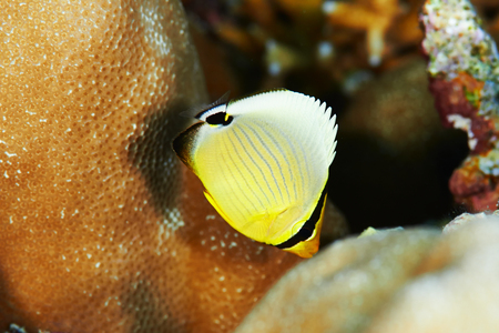 butterflyfish: Pinstripe butterflyfish (Chaetodon lunulatus) juvenile, in the Red Sea, Egypt.
