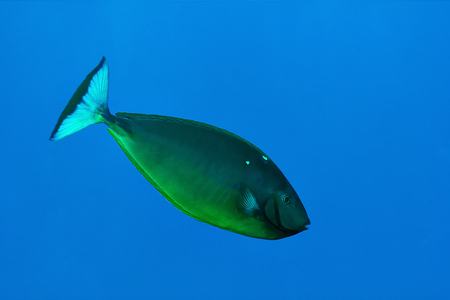 Sleek unicornfish (Naso hexacanthus)  in the Red Sea, Egypt. Stock Photo