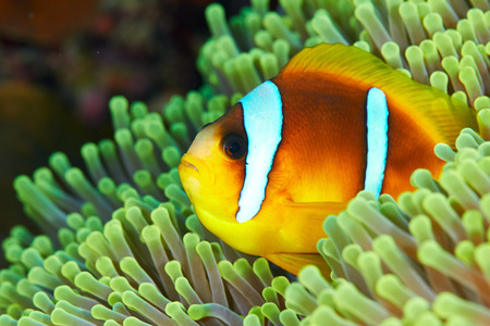 amphiprion: Twoband anemonefish (Amphiprion bicinctus) in the Red Sea, Egypt.