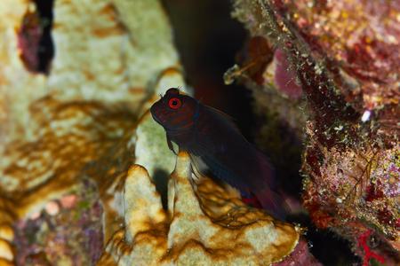 blenny: Chestnut eyelash-blenny (Cirripectes castaneus) in the Red Sea, Egypt. Stock Photo