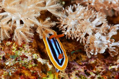 nudi: Pyjama chromodorid (Chromodoris quadricolor) Red Sea, Egypt.