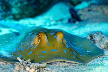 taeniura: Bluespotted ribbontail ray (Taeniura lymma) clouse up view, in the Red Sea, Egypt. Stock Photo