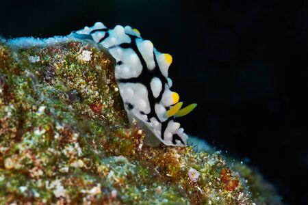exotic fish: Varicose wart slug (Phyllidia varicosa) Red Sea, Egypt.
