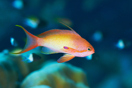 basslet: Sea goldie (Pseudanthias squamipinnis) in the Red Sea, Egypt.