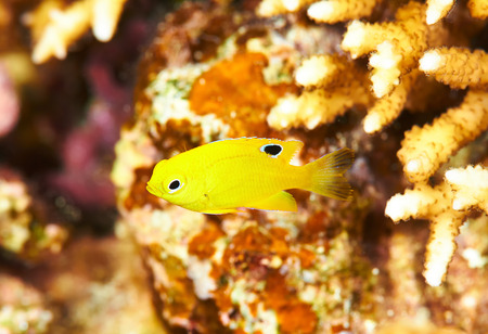 bannana: Canary wrasse (Halichoeres chrysus) juvenal in the Red Sea, Egypt. Stock Photo