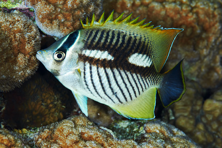 chaetodontidae: Chevron butterflyfish (Chaetodon trifascialis) at night, in the Red Sea, Egypt.