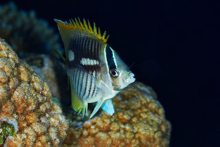 Chevron butterflyfish (Chaetodon trifascialis) at night, in the Red Sea, Egypt.