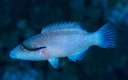 labridae: Cheeklined splendour wrasse (Cheilinus digrammus) and cleaner wrasse in the Red Sea, Egypt. Stock Photo