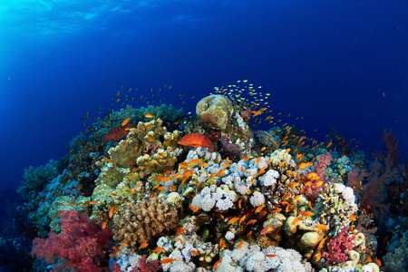 Coral reef and fishes in the Red Sea, Egypt.