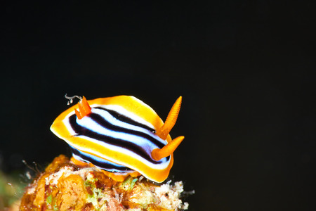 nudi: Pyjama chromodorid (Chromodoris quadricolor) at night, Red Sea Egypt. Stock Photo