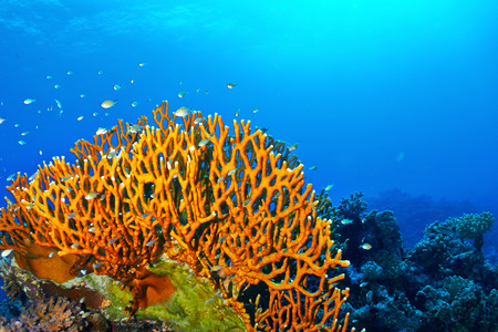 red coral colony: Dichotomy fire coral (Millepora dichotoma) in the Red Sea, Egypt. Stock Photo