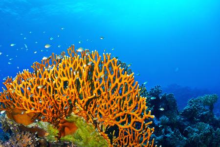 corales marinos: Dicotom�a coral de fuego (mil�poras dichotoma) en el Mar Rojo, Egipto. Foto de archivo