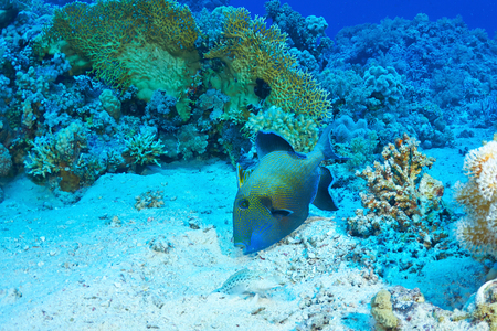 Blue triggerfish (Pseudobalistes fuscus) feeding, in the Red Sea, Egypt.