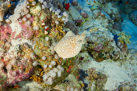 panther: Panther electric ray (Torpedo panthera), in the Red Sea, Egypt.