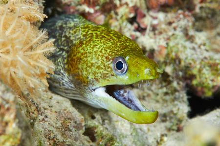 undulatus: Undulated moray (Gymnothorax undulatus), in the Red Sea, Egypt.