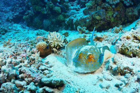 taeniura: Bluespotted ribbontail ray (Taeniura lymma) feeding, in the Red Sea, Egypt.