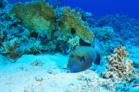 Triggerfish azul (fuscus pseudobalistes) de alimentación, en el Mar Rojo, Egipto.