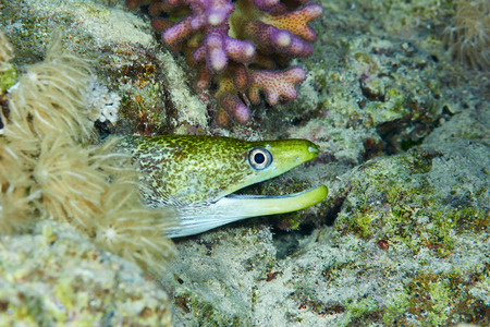 saltwater eel: Undulated moray (Gymnothorax undulatus), in the Red Sea, Egypt.