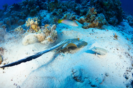 bluespotted: Bluespotted ribbontail ray (Taeniura lymma) feeding, in the Red Sea, Egypt.
