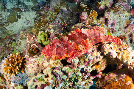 scorpionfish: Bearded scorpionfish (Scorpaenopsis barbata), in the Red Sea, Egypt.