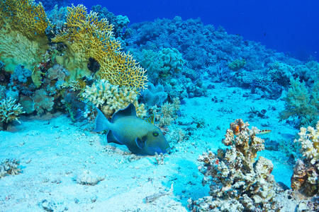 red sea: Blue triggerfish (Pseudobalistes fuscus) feeding, in the Red Sea, Egypt.