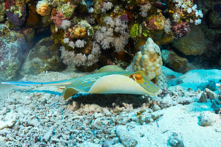 bluespotted: Bluespotted ribbontail ray (Taeniura lymma) swimming, in the Red Sea, Egypt.
