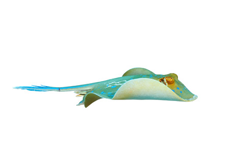 Bluespotted ribbontail ray (Taeniura lymma), isolated on white background.