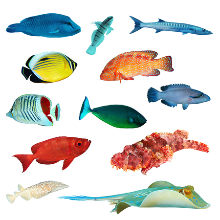 napoleon wrasse: Tropical fish collection on white background. Stock Photo