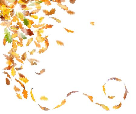 freefall: Autumn oak leaves falling down on white background.
