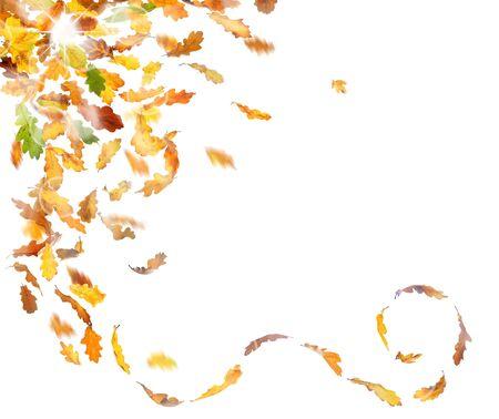 caida libre: hojas de roble otoño cayendo en el fondo blanco. Foto de archivo