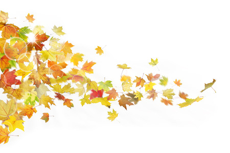 Autumn maple leaves falling down on white background.