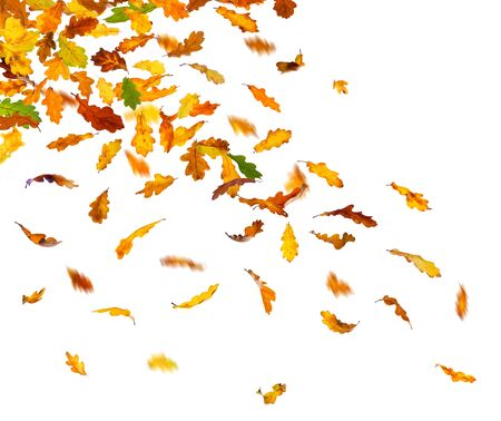 leaves falling: Autumn oak leaves falling down on white background.