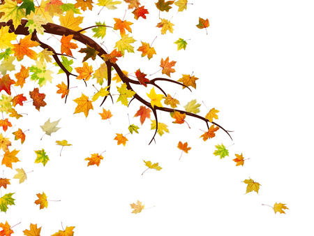 freefall: Branch with autumn maple leaves, isolated on white background.