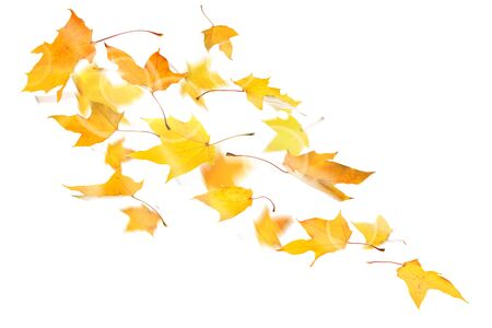 Autumn yellow maple leaves falling down on white background.